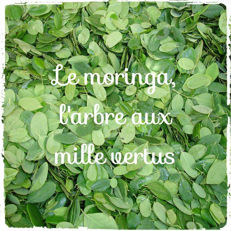 moringa_morum_feuilles